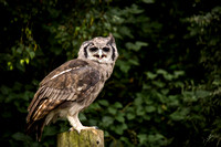 Cedric the Eagle Owl