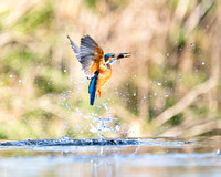 Kingfisher, Spring 2019