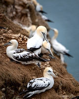 Gannet head massage, Bemtpon cliffs RSPB
