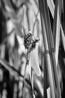 Emerging dragonfly, Dinnington