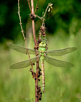 Emerged Dragon fly, Dinnington